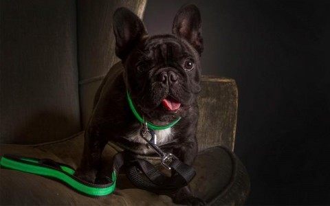 Cute French Bull Dog wearing the green Ultra Collar and Ultra Leash from ILLUMINIGHT