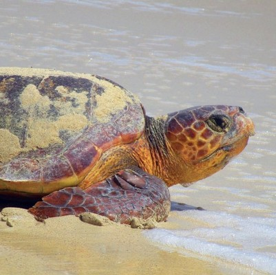 The Loggerhead sea turtle is the main species that nests in Cabo Verde